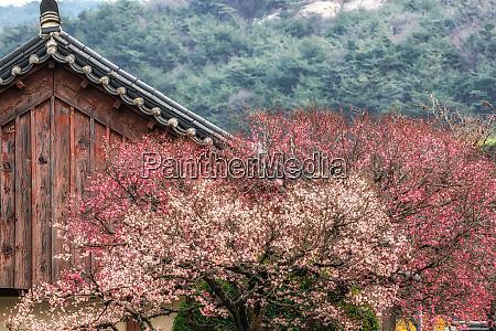 tongdosa temple and plum blossom