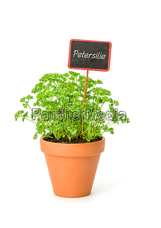 parsley in a clay pot with