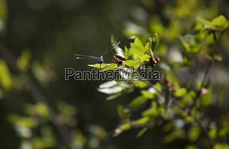 swamp darner dragonfly