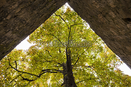 old chestnut tree at alzenau castle