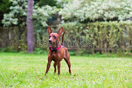 portrait of a red miniature pinscher