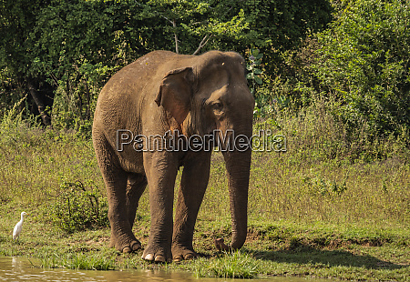 sri lanka elephant in uda