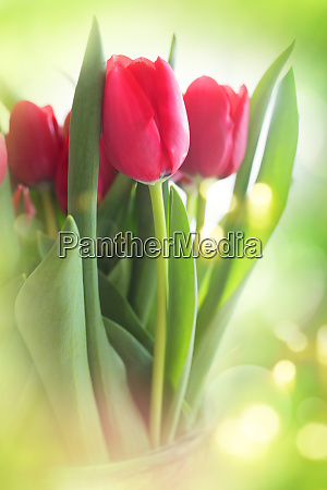 tulips on bright green background