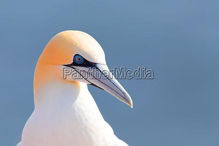 northern gannet helgoland germany