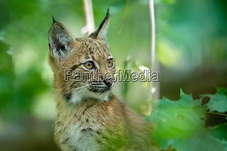 cute small kitten of lynx