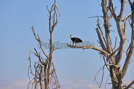 african fish eagle in kenya