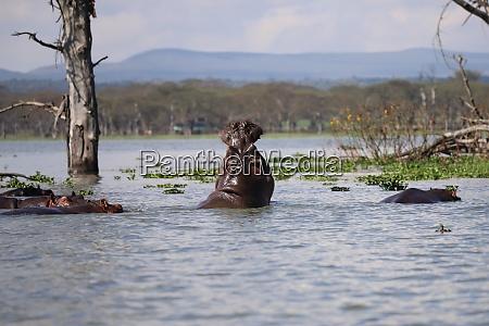 hippos in lake naivasha in kenya