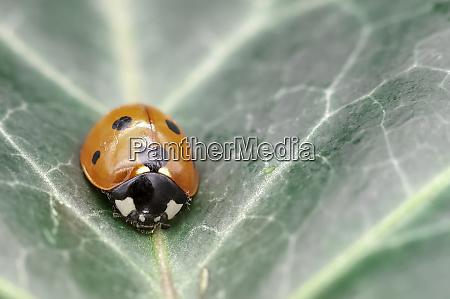 coccinella septempunctata known as seven spot