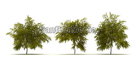 single robinia pseudoacacia tree