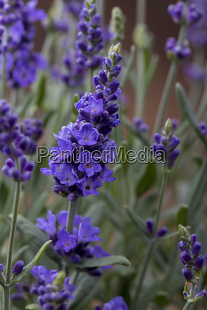 closeup of a lavender plant in
