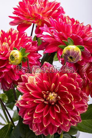 red dahlia flower isolated on white