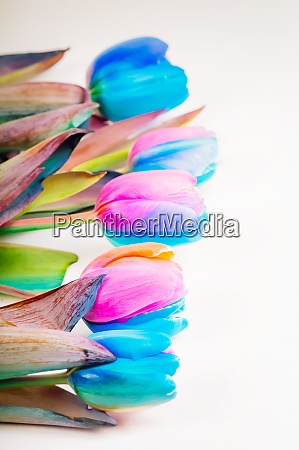 vertical shoot of multi colored tulips