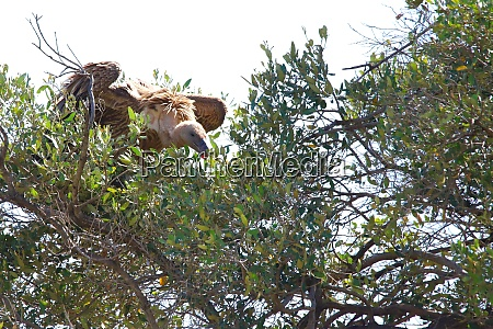 vulture sitting in a tree in