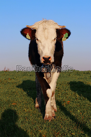 a pretty simmental cattle with horns