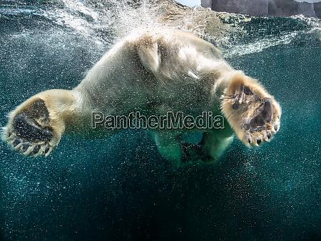 action closeup of polar bear with