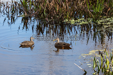 mottled duck anas fulvigula swim in