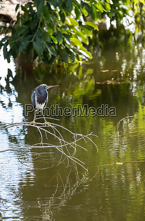 tricolored heron wading bird egretta tricolor