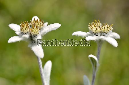 two edelweiss alpine flowers