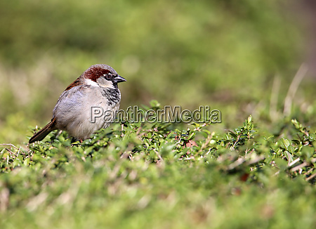 male house sperling passer domesticus in