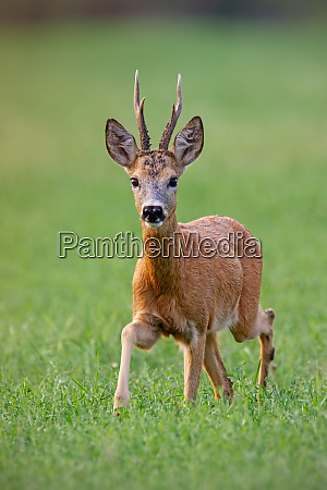 male roe deer buck walking forward