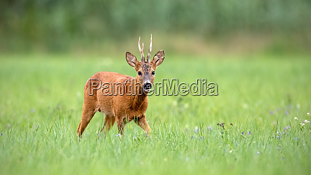 roe deer buck walking towards camera
