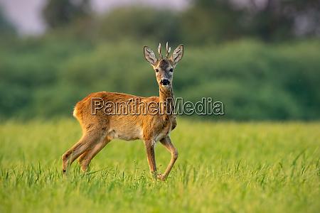curious roe deer buck in summer