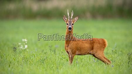 attentive roe deer buck standing on