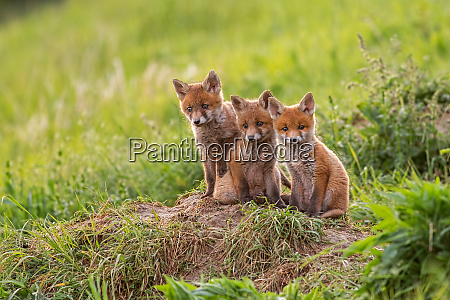 red fox vulpes vulpes small young