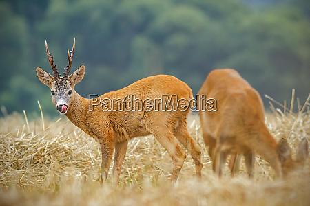 roe deer capreolus capreolus couple during