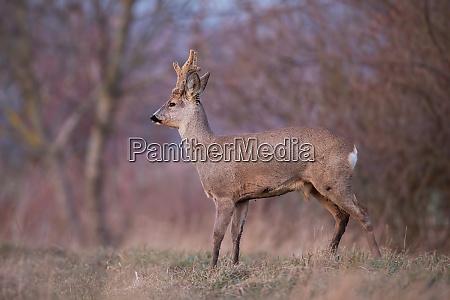 roe deer capreolus capreolus buck with