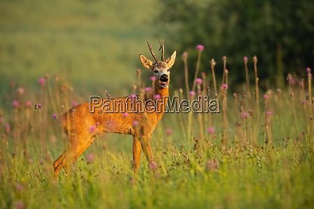 frightened roe deer capreolus capreolus buck