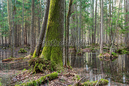 springtime wet mixed forest with standing