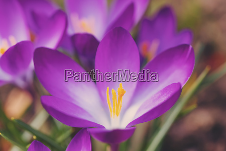 spring flowers crocus in garden