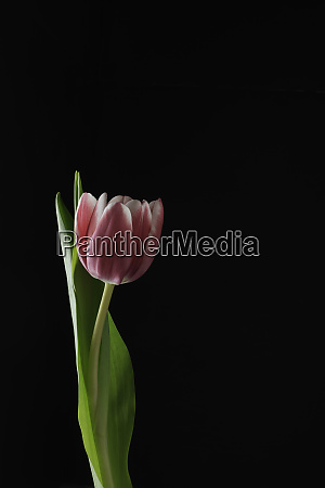 tulip on black background