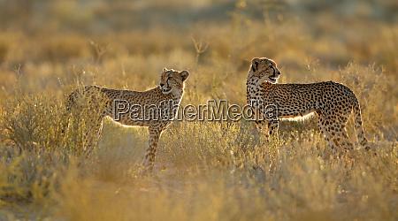 cheetahs in natural habitat