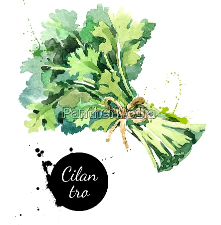 watercolor hand drawn cilantro bunch isolated