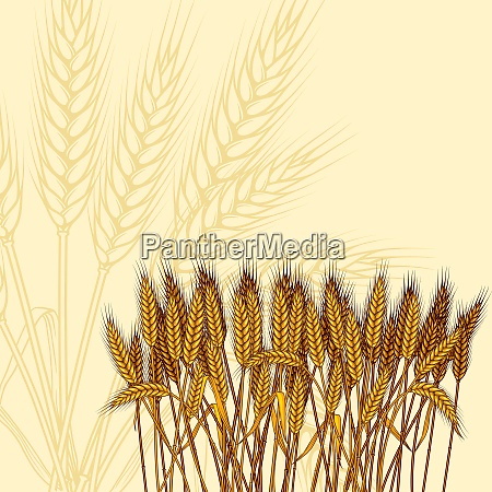 background with ripe yellow wheat ears