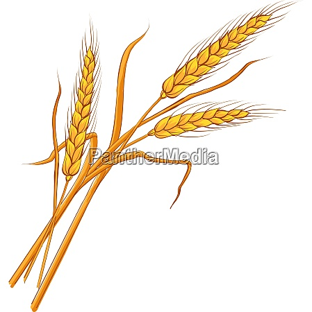 ears of wheat vector eps 10