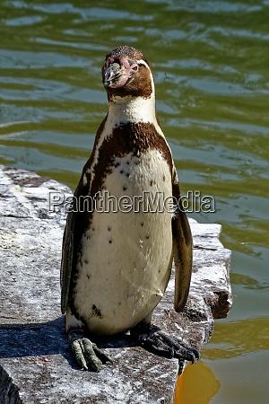 eyed penguin