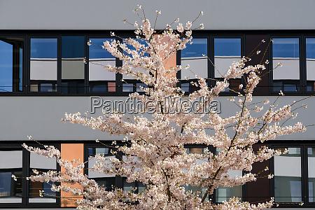 spring blossom sakura cherry tree in