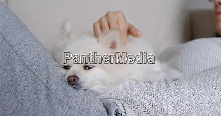 sleep white pomeranian with pet owner