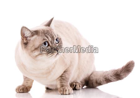 cute gray british cat lying on