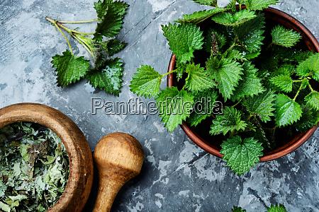 stinging nettles urtica medical herb