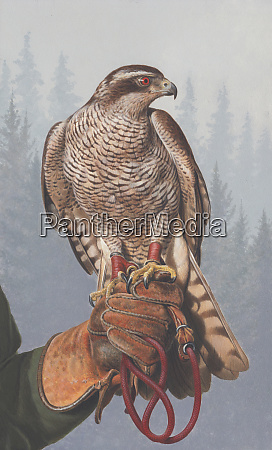 painting of goshawk perched on falconers