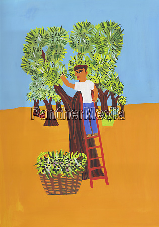 man picking olives in olive grove