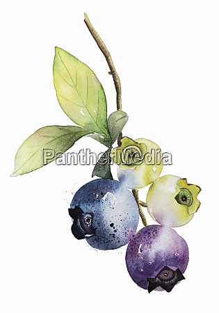 watercolour painting of ripening blueberries on