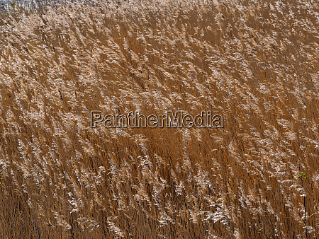 close crop of golden reeds blowing