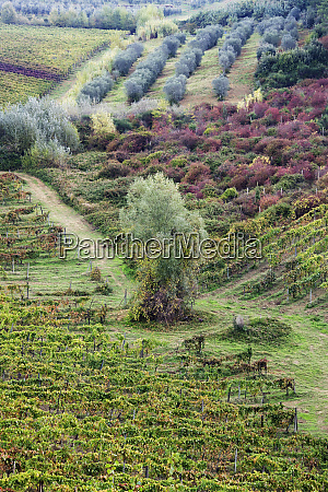 vineyard and olive grove