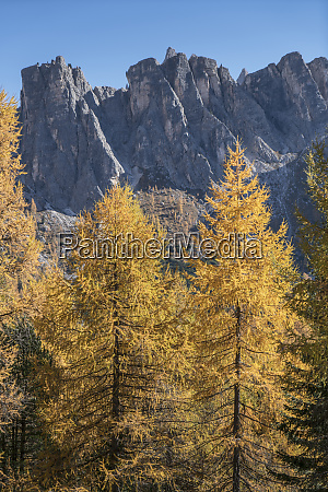 pine trees in the dolomites south