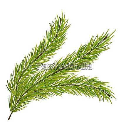 illustration with fir branch isolated on